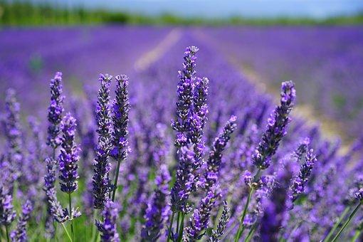 lavender-blossom-1595584__340